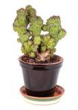Cereus peruvianus Monstrosus Stock Image