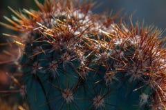 Cereus (roślina) zbliżenie Obraz Royalty Free