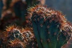 Cereus (roślina) Fotografia Royalty Free