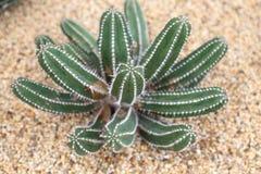 Cereus ` Succulent Feekasteel ` Royalty-vrije Stock Fotografie
