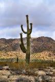 Cereus van de Saguarocactus de Woestijn van giganteussonora royalty-vrije stock fotografie