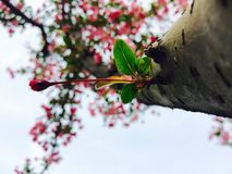 Cereza Foto de archivo libre de regalías