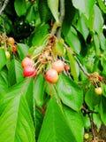 Cereza, baya, huerto, primavera foto de archivo libre de regalías