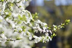 Cereza-ciruelo Fotos de archivo