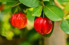 Cereza de Barbados en árbol Foto de archivo