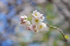 Cereza de floración invernal fotografía de archivo libre de regalías