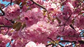 Cereza de la colina, cereza ornamental de la fruta de la cereza oriental, serrulata del Prunus Las frutas japonesas Japón llamaro almacen de metraje de vídeo
