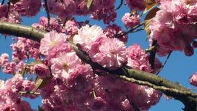 Cereza de la colina, cereza ornamental de la fruta de la cereza oriental, serrulata del Prunus Las frutas japonesas Japón llamaro metrajes