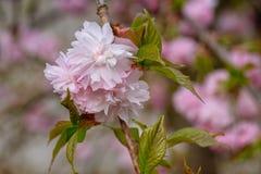 Cereza de la colina, serrulata del Prunus foto de archivo