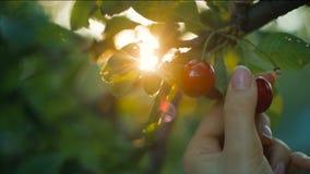 Cereza de la cosecha de la mujer en la puesta del sol