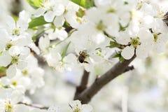 Cereza de la flor Fotografía de archivo libre de regalías