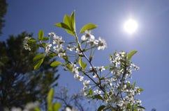 Cereza de la rama en la primavera fotografía de archivo libre de regalías