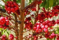 Cereza de los granos de café Foto de archivo libre de regalías