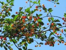 Cereza de maduración Foto de archivo libre de regalías