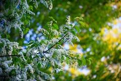 Cereza de pájaro floreciente Imagenes de archivo