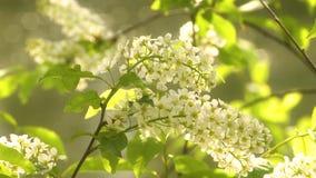 Cereza de p?jaro floreciente metrajes