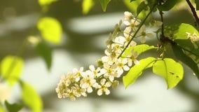 Cereza de p?jaro floreciente almacen de video