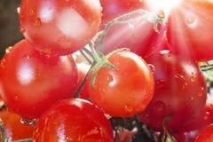 Cereza del tomate/ Foto de archivo libre de regalías
