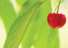 Cereza en el árbol Imágenes de archivo libres de regalías