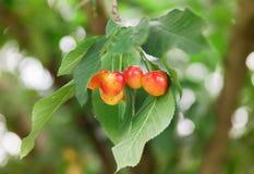 Cereza en el árbol Foto de archivo libre de regalías