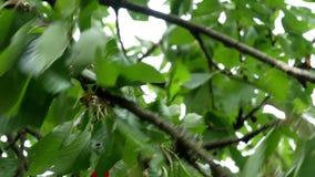 Cereza en el árbol 4k metrajes