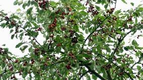 Cereza en el árbol 4k almacen de metraje de vídeo