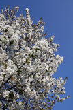 Cereza en flor Imagenes de archivo