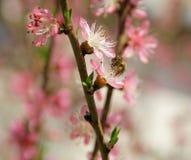 Cereza en la primavera y abejas que trabajan bien imagen de archivo