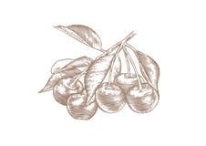 Cereza en la rama ilustración del vector