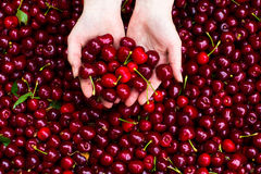 Cereza en manos Foto de archivo libre de regalías