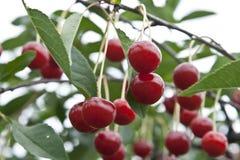 Cereza en un árbol Foto de archivo libre de regalías