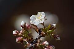 Cereza-flor Fotografía de archivo libre de regalías