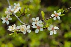 Cereza floreciente Foto de archivo libre de regalías