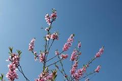 Cereza floreciente, abeja que poliniza las flores jovenes Imágenes de archivo libres de regalías