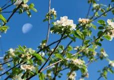 Cereza floreciente contra el cielo Foto de archivo