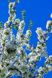 Cereza floreciente de las flores blancas Imagenes de archivo