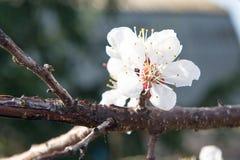 Cereza floreciente en la primavera, el olor del albaricoque floreciente Foto de archivo