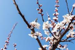 Cereza floreciente en la primavera, el olor del albaricoque floreciente Imagenes de archivo