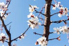 Cereza floreciente en la primavera, el olor del albaricoque floreciente Fotos de archivo libres de regalías