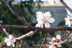 Cereza floreciente en la primavera, el olor del albaricoque floreciente Imagen de archivo libre de regalías