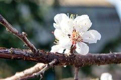 Cereza floreciente en la primavera, el olor del albaricoque floreciente Fotografía de archivo libre de regalías