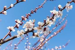 Cereza floreciente en la primavera, el olor del albaricoque floreciente Imágenes de archivo libres de regalías