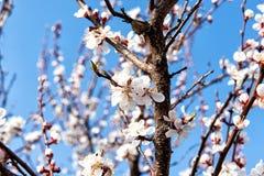 Cereza floreciente en la primavera, el olor del albaricoque floreciente Imagen de archivo