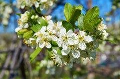 Cereza floreciente en primavera con las flores blancas Primer abstraiga el fondo Fotos de archivo libres de regalías