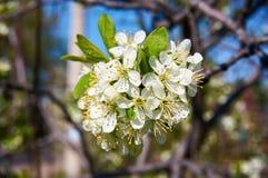 Cereza floreciente en primavera con las flores blancas Primer abstraiga el fondo Imágenes de archivo libres de regalías