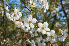 Cereza floreciente en primavera con las flores blancas Primer abstraiga el fondo Imagen de archivo libre de regalías