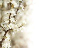 Cereza floreciente en resorte Imagen de archivo