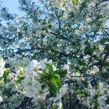 Cereza floreciente hermosa Imagen de archivo libre de regalías