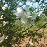 Cereza floreciente hermosa Imagenes de archivo