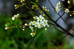 Cereza floreciente Jardín del resorte Foto de archivo libre de regalías
